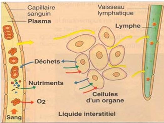shéma lymphe 1