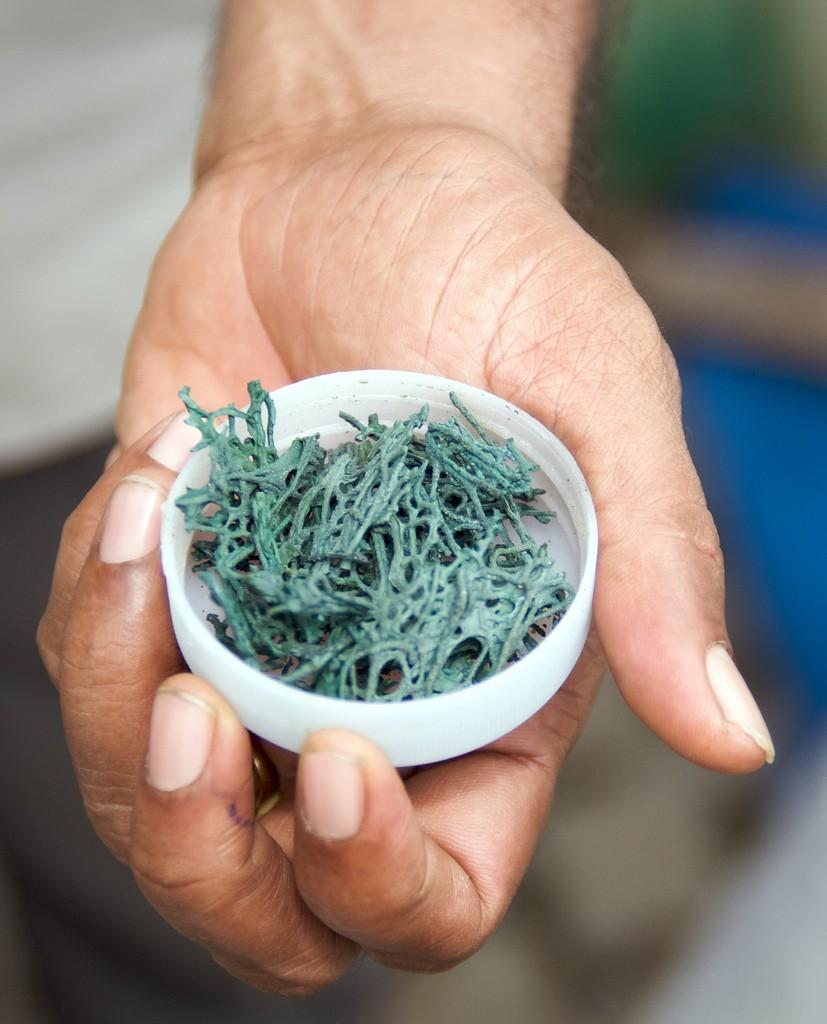 spiruline micro algue bleue